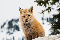 A red fox licks its chops on a snowy spring morning on the slopes of Mount Rainier in Washington State.
