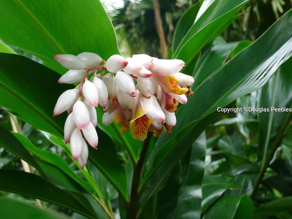 Shell ginger, Lyon Arboretum, Manoa Vally, Honolulu, Hawaii