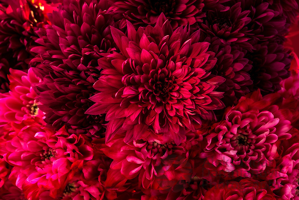 Crimson chrisantemum close up, still life composition with many shades of red color, Asteracae family