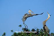 00684-029.16 Great Blue Heron (Ardea herodias) arriving at nest, mate skypointing   FL