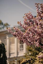 THEMENBILD - die rosa Blüten eines Kirschbaumes in der Frühlingssonne, aufgenommen am 24. April 2019 in Gmunden, Oesterreich // the pink blossoms of a cherry tree in the spring sun, Austria. EXPA Pictures © 2019, PhotoCredit: EXPA/ Stefanie Oberhauser
