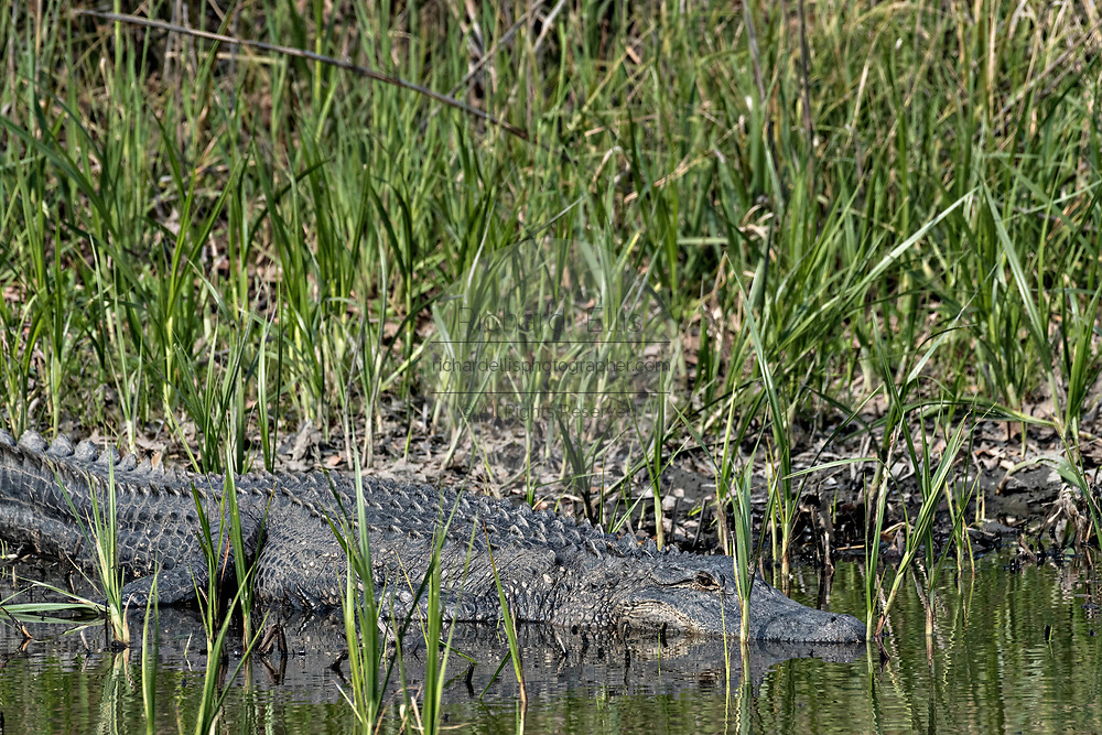 An American alligator hides in marsh grass looking for prey at the Donnelley Wildlife Management Area March 11, 2017 in Green Pond, South Carolina. The preserve is part of the larger ACE Basin nature refugee, one of the largest undeveloped estuaries along the Atlantic Coast of the United States.