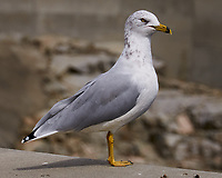 Ring-billed Gull (Larus delawarensis). Grand Coulee Dam, Washington. Image taken with a Nikon D300 camera and 18-200 mm VR lens.