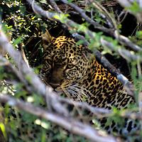 Africa, Kenya, Maasai Mara. Adult Leopard sits camouflaged in the shade.