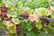 Siegerrebe grapes growing on grapevines for British wine production at The Three Choirs Vineyard, Newent, Gloucestershire