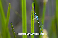 06101-001.02 Azure Bluet (Enallagma aspersum) male in wetland, Marion Co.  IL