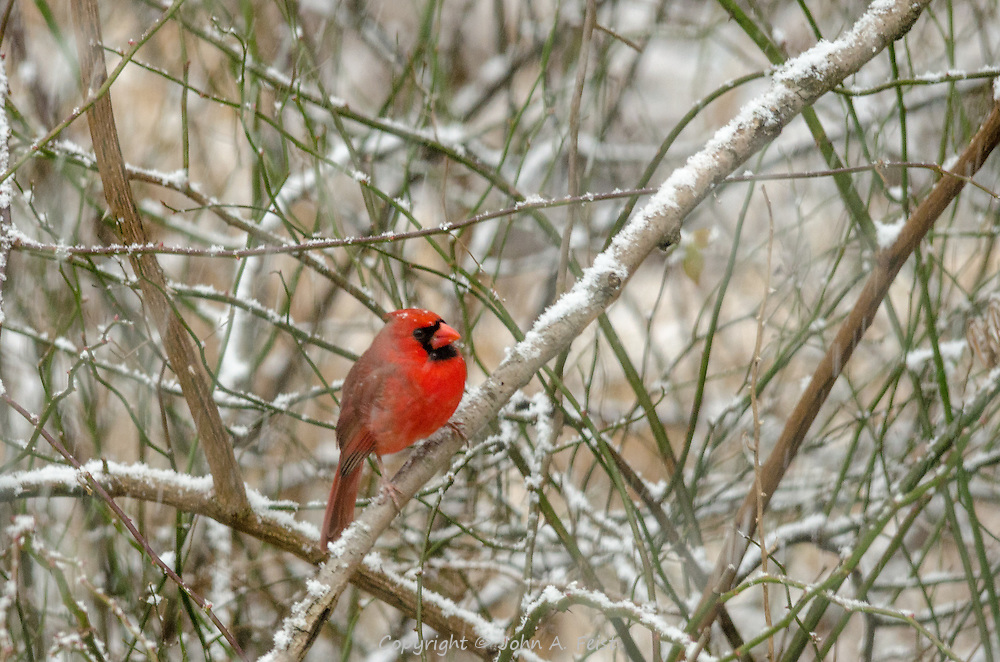 He's sitting in some bare bushes eying the feeders.  There is still a little snow in the air.  His red feathers really stand out against the winter background.