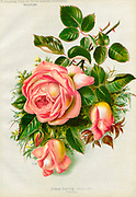 Hand painted and coloured Bouquet of Orange (Salmon) roses 1887 from Rosen-Zeitung, Organ des Vereins Deutscher Rosenfreunde, 1887 [Periodical of the German Rose Society (Vereins Deutscher Rosenfreunde)] by C. P. Strassheim