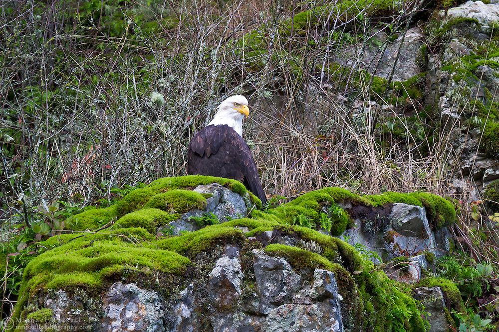 A Bald Eagle (Haliaeetus leucocephalus) perched overlooking the Harrison River during the Fraser Valley Bald Eagle Festival in British Columbia, Canada