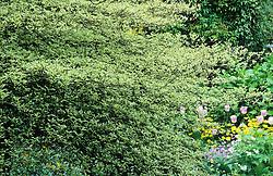 Cornus alternifolia 'Argentea' syn. Cornus alternifolia 'Variegata' - Pagoda dogwood, Green osier