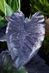 Colocasia esculenta 'Black Magic' growing in the exotic garden at Great Dixter. Elephant's Ear, Taro plant,