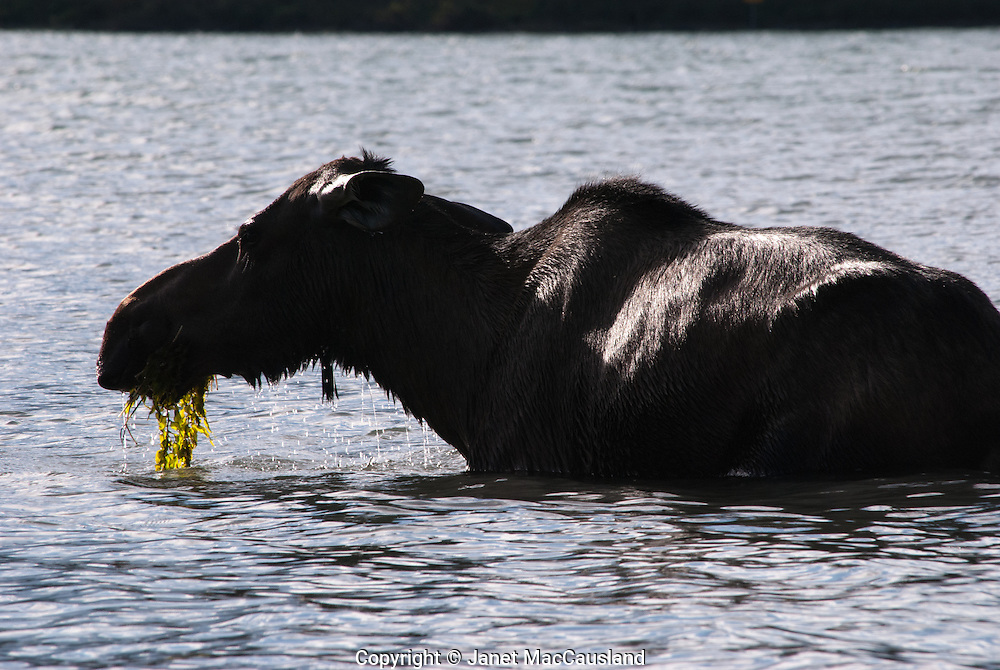 A Moose cow feeds on water vegetation in a lake Jasper, Canada , late summer.
