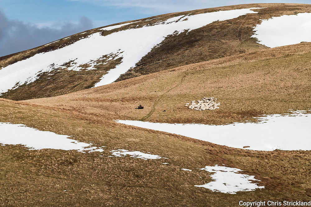 Hindhope, Jedburgh, Scottish Borders, UK. 22nd March 2018. Hill farmer Tom Elliot gathers South Country Cheviot Ewes on Hindhope Farm near the Anglo Scottish Border for worming prior to lambing next month. Lambing takes place in late spring on the Cheviots in the hope of avoiding any late wintry weather.