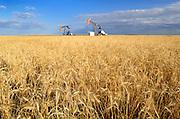 Oil pump jacks and wheat field<br /> Carlyle<br /> Saskatchewan<br /> Canada