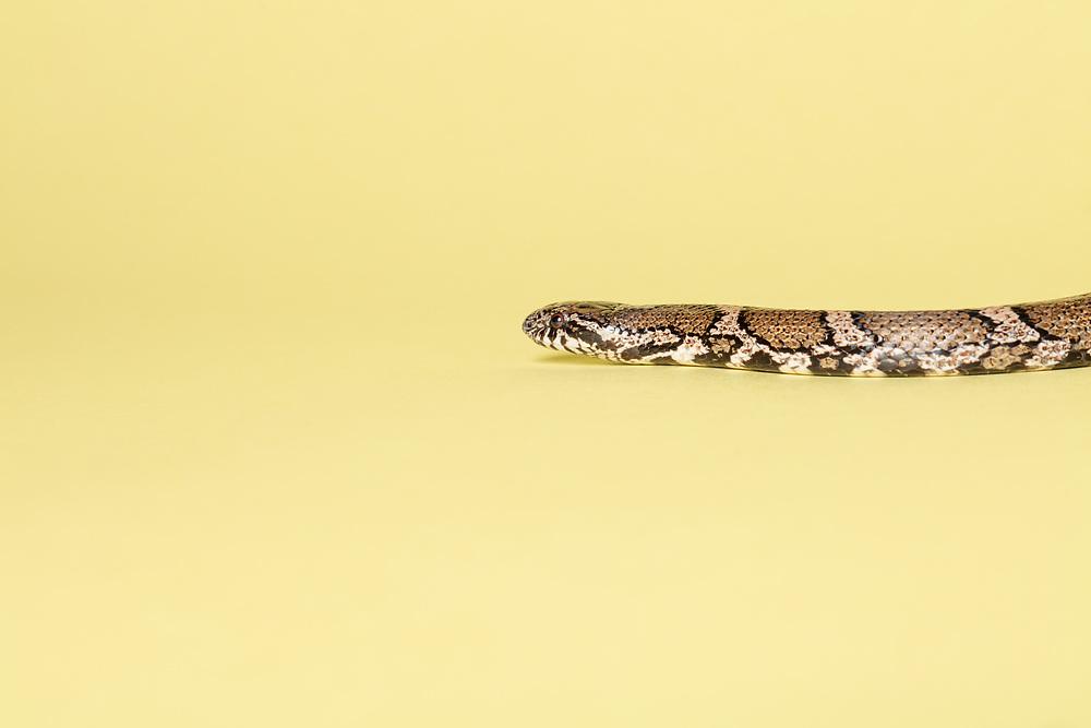 Studio shot of a milk snake