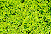 Bracken fern at Penouille Beach along the Gulf of St. Lawrence . Appalachians' northeasternmost tip in North America. <br />Forillon National Park<br />Quebec<br />Canada