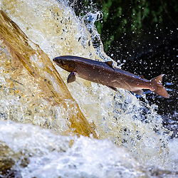 Salmon leap from the River Carron 15th Oct 2019
