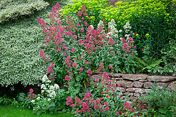 Self sown Centranthus ruber 'Albus', Valerian -red and white form - growing in a dry stone wall