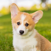20200828 Mosely Corgi Puppies