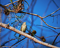 Pine Warbler in a tree outside Clyde Butcher's Big Cypress Galley. Image taken with a Fuji X-T2 camera and 100-400 mm OIS telephoto zoom lens (ISO 200, 400 mm, f/5.6, 1/640 sec).
