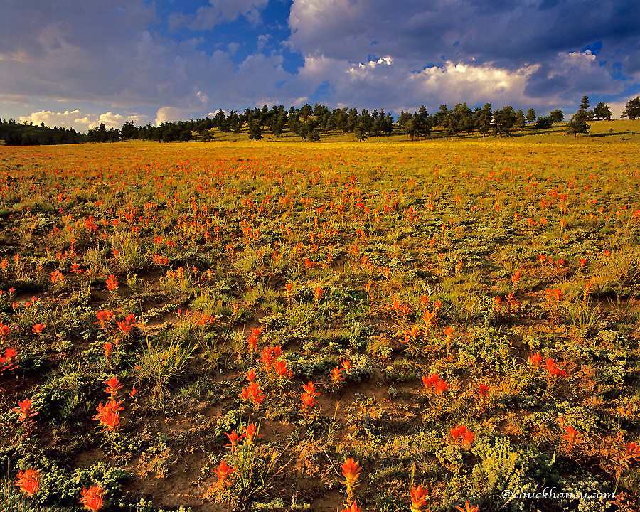 Indian Paintbrush wildflowers in the Puma Hills near Park Colorado