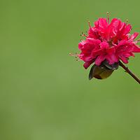 A red azalea flowering in the summer