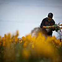 Migrant workers collect tulips during at the Wooden Shoe Tulip Farm in Woodburn, Oregon.