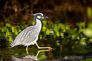 Yellow Crowned Night Heron at Ding Darling National Wildlife Refuge in Sanibel Island, Florida, USA