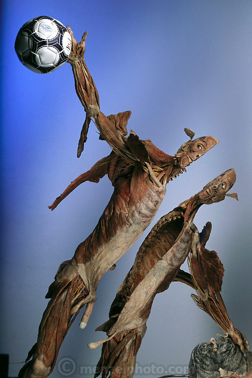 """""""The Goalkeeper,"""" a piece from Gunther von Hagens' Body Worlds exhibits. Body Worlds is a traveling exhibit of real, plastinated human bodies and body parts. Von Hagens invented plastination as a way to preserve body tissue and is the creator of the Body Worlds exhibits.."""