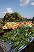 Vegetable leaves (probably spinach)  drying on the metal rooftops of small building on the 3rd of March 2020 in Raniswara, Ghairung, Gorkha, Nepal.   (photo by Andrew Aitchison / In pictures via Getty Images)