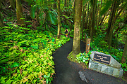 Palm Jungle trail at Hawaii Tropical Botanical Garden, Hamakua Coast, The Big Island, Hawaii USA