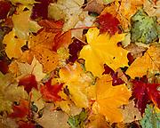 Raindrops on sugar maple leaves carpeting forest floor, Adirondack Mountains near Walker Mill, Adirondack Park, New York,