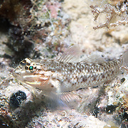 Colon Goby inhabit sandy coral rubble adjacent to coral reefs in Tropical West Pacific; picture taken Palm Beach, FL.