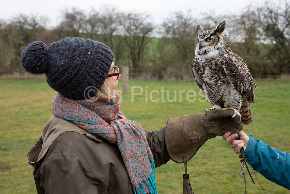 Birds of prey on show during a falconry display near Stratford-upon-Avon, England, United Kingdom. Here a Long Horned Owl with mottled feathers is on the falconers glove with a member of the public on the falconry morning.