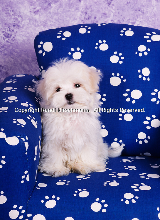"""Maltese, AKC, 14-week-old puppy """"Dancing Fire"""" photographed at Randi's studio and owned by Molly Eidem of Anchorage, Alaska.  (Pet Release)"""