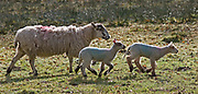 Adult female sheep and two lambs walking through field, Devon, U.K.