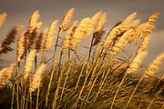 Pampas grasses blowing in wind at dusk , Bank's Peninsula, Canterbury, New Zealand