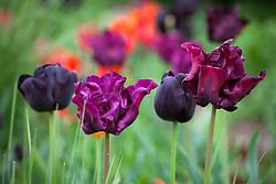 Tulipa 'Victoria's Secret' with Tulipa 'Paul Scherer'