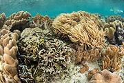 Giant Clam (Tridacna sp.)<br /> Raja Ampat<br /> Indonesia