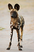 A front-view portrait  showing the long legs and coloration of an endangered African wild dog (Lycaon pictus),Khwai River, Moremi Game Reserve, Botswana, Africa