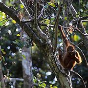 Orangutan, (Pongo pygmaeus) In tree tops of rain forest of Northern Borneo. Malaysia. Controlled Conditons.