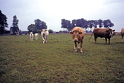 Cows Along Northern Coast