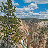 A lodgepole pine overlooks the Grand Canyon of the Yellowstone River in Yellowstone National Park.