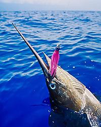 blue marlin, Makaira nigricans ( or Indo-Pacific blue marlin, Makaira mazara ), hooked on Hawaiian Jet Lure, off Kona Coast, Big Island, Hawaii, USA, Pacific Ocean