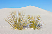 A pair of yucca plants grow on a large dunes in White Sands National Monument in New Mexico. The white sand dunes are comprised of gypsum crystals, which is rarely found as sand because it is water-soluble. But the Tularosa Basin is surrounded by mountains and there is no direct outlet to the sea for any rain that falls there. Any water eventually drains through the ground leaving the gypsum behind in a crystalline form called selenite. White Sands National Monument is the largest gypsum dune field in the world.