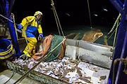 Once the first net emptied it is put straight back into the water to continue trawling. Luke is a Folkestone based fisherman out trawling for a 12 hour night shift on a fishing trip in his boat Valentine FE20, Hythe Bay, the English Channel, United Kingdom.