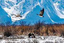 A two year old Grizzly Cub watching the geese fly over below the towering peaks of the Grand Tetons.