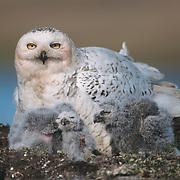 Snowy owl (Bubo scandiacus) adult with chicks at a nest. Barrow, Alaska