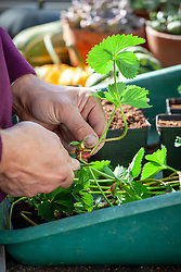 Potting up strawberry runners into individual pots in the greenhouse