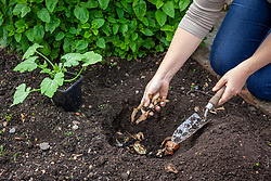 Making a planting pit and planting a courgette. Adding potato peelings and organic matter to the bottom of the hole